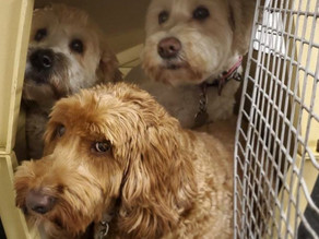 """KENNEL USE IN A """"KENNEL-FREE"""" BOARDING SETTING"""