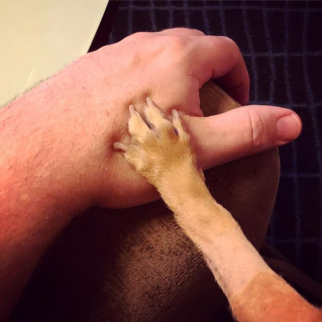 chihuahua paw holding human hand