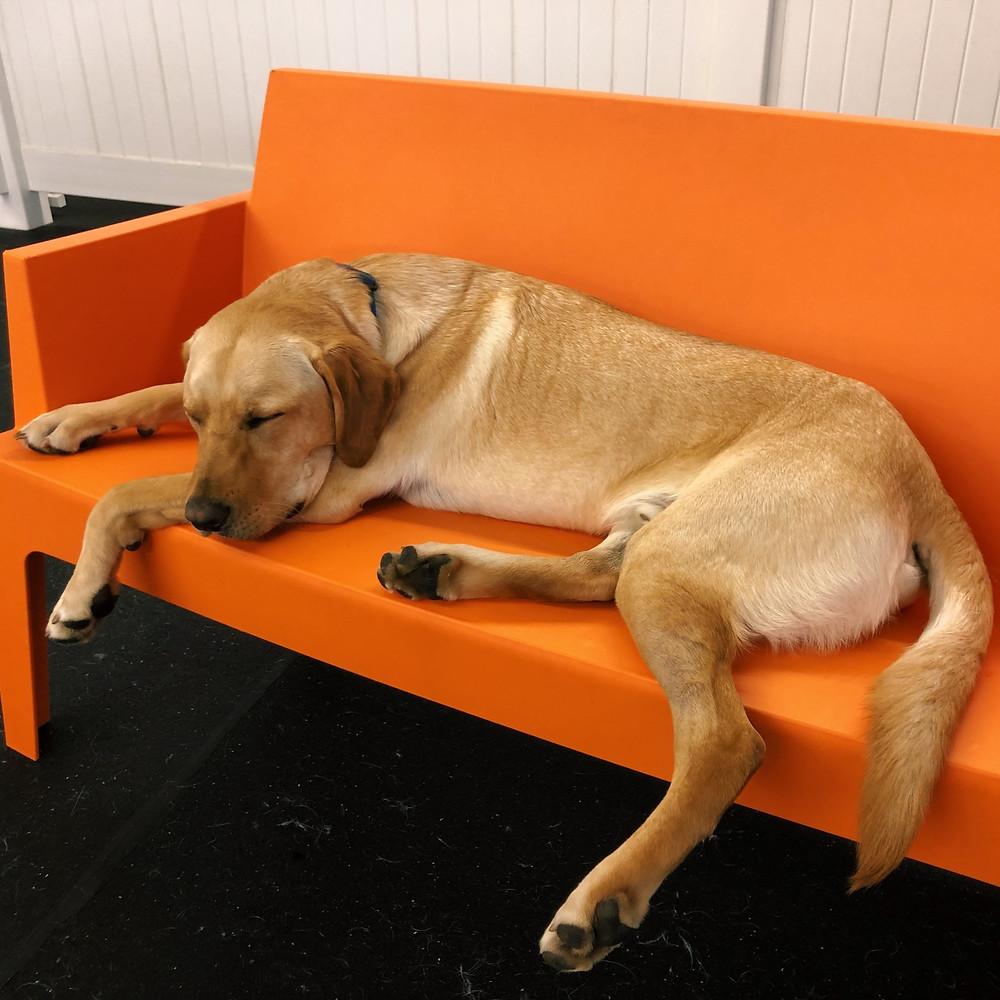 Oakley naps at Good Dog