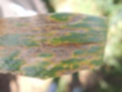 Wheat infected with Zymoseptoria tritici solomon anu