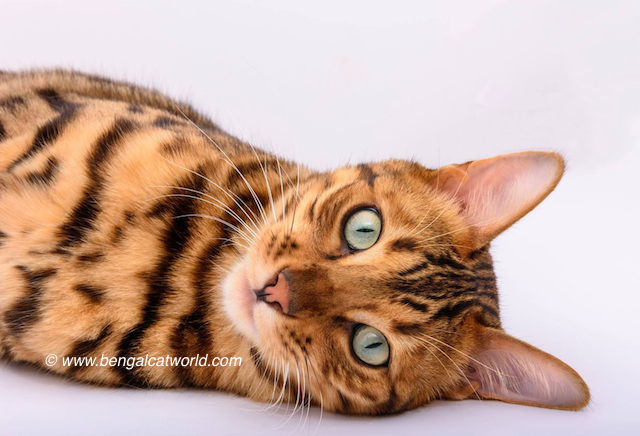 spike-the-bengal-cat