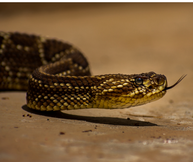Neotropical rattlesnake reproduction and the precarious risks of mating