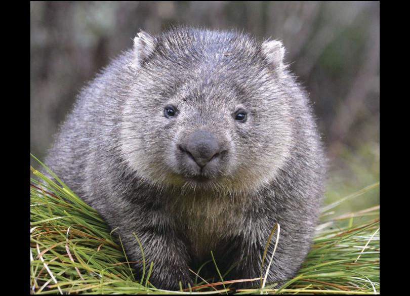 bare-nosed-wombat-vombatus-ursinus-15673