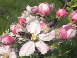 The beauty of watching the honey bees foraging.