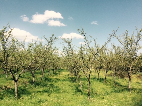 The apple orchard at Quinta Das Abelhas