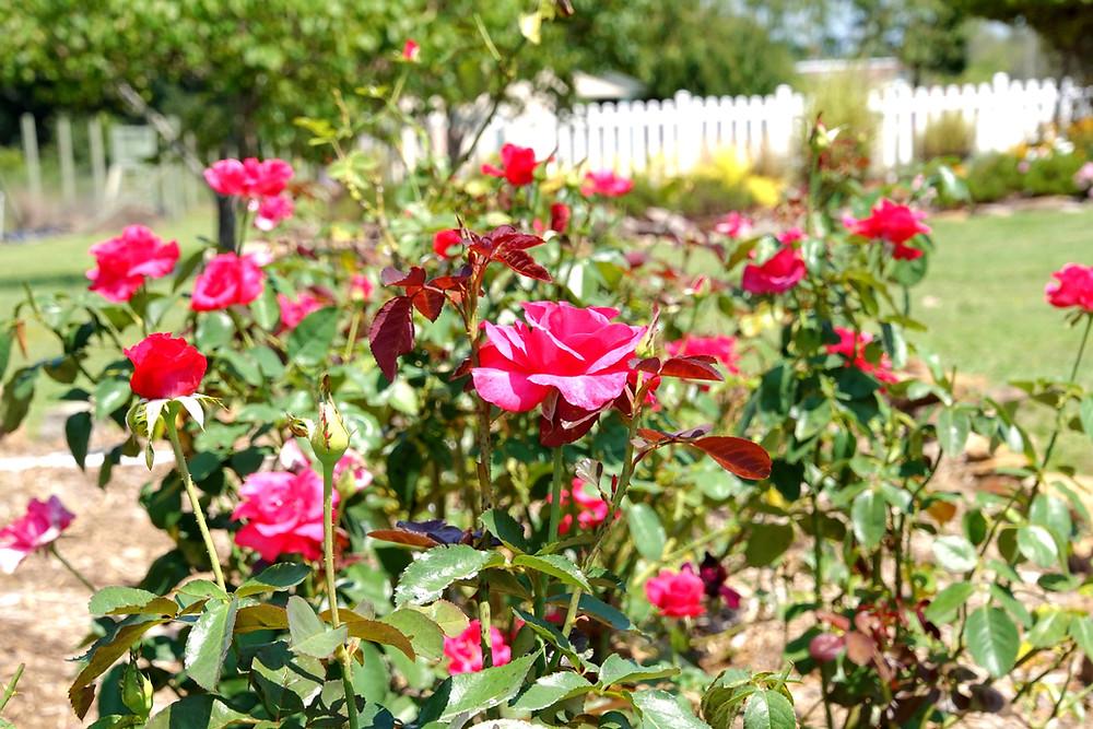 Ray Baker Hybrid Tea Rose has a WOW story!