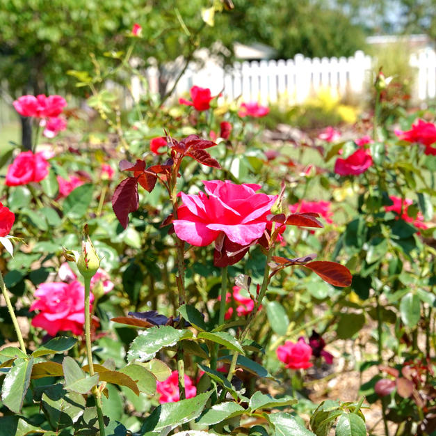 The Ray Baker Rose Garden