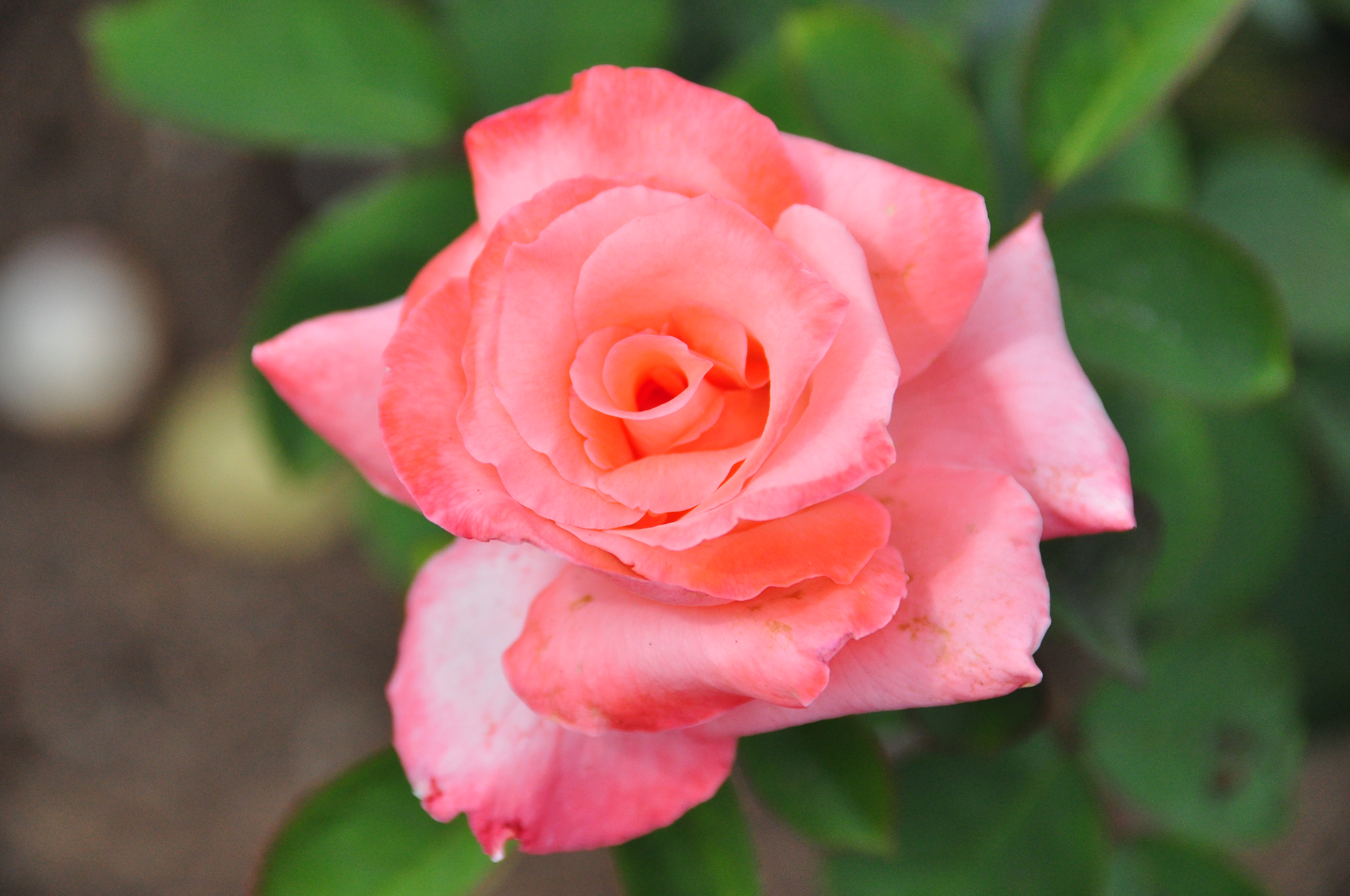 Ray Baker Rose Garden