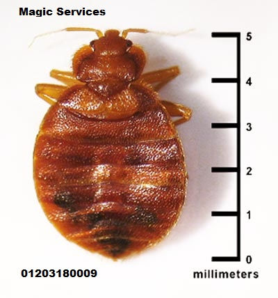 حجم-حشرة-البق