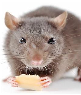 مكافحة الفئران | ابادة القوارض | مكافحة حشرات مصر