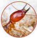 النمل الأبيض.jpg