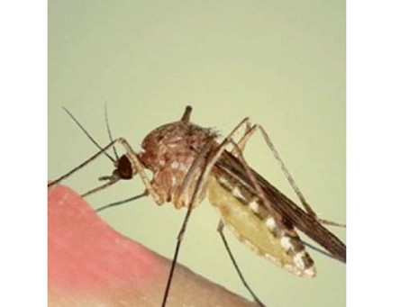 هل البعوض يساعد على نقل فيروس كورونا؟