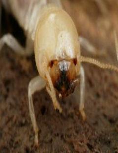 مكافحة النمل الأبيض | ابادة النمل الأبيض | شركة ماجيك سرفيس