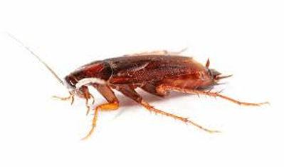 مكافحة الصراصير | ابادة الصراصير | شركة مكافحة حشرات مصر