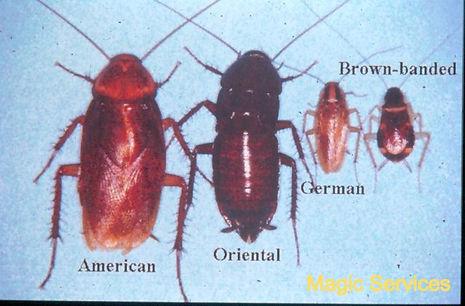 أنواع الصراصير.jpg