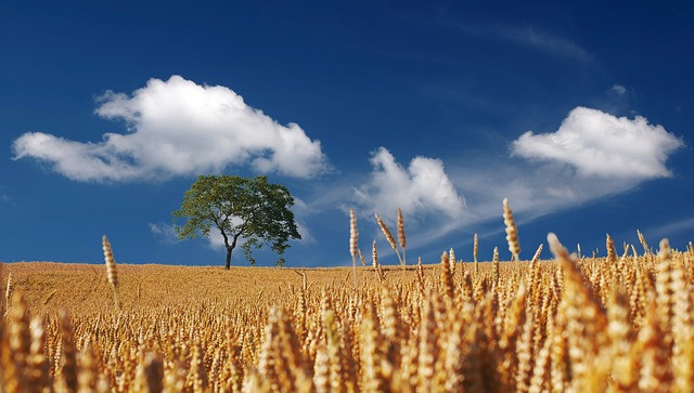 Mustard seed tree surrounded by wheat. Gibraltar Catholic Youth.
