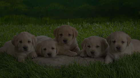 Golden-Retriever-puppies-wallpaper-2 - C