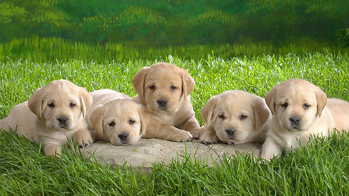 Golden-Retriever-puppies-wallpaper-2.jpg