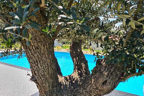 Olivier autour d'une piscine