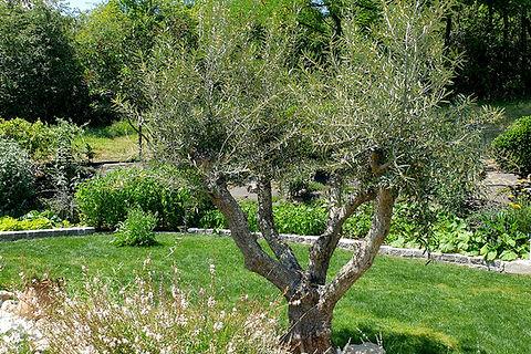 Aménagement jardin olivier