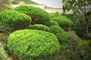 Taille en nuage - niwaki - PAYSAGISTE ISSOIRE BRIOUDE