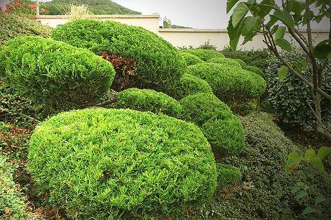 Taille Niwaki - davidbergougnoux.com