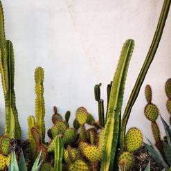 """""""Cacti Glow"""""""