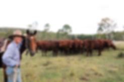 Bulls Queensland Beef Santas Santa Gertrudis Greenup Eidsvold Station Best Bulls Northern Territory Pilbara Kimberley's Cows Heifers PTIC