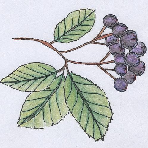 Frozen Aronia Berries - 100% Organic