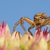 Krabbenspinne auf Fetthenne