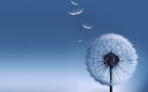 HD-Dandelion-Wallpaper.jpg