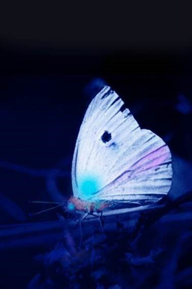 Butterfly in UV