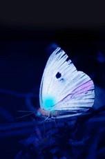 Butterfly in UV