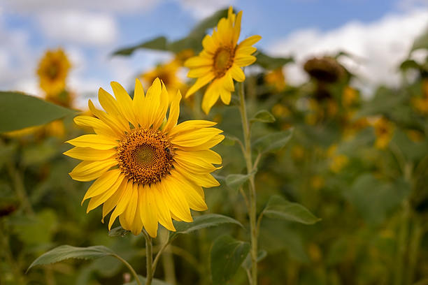 Sunflowers in Summer by Alpenglow Photography
