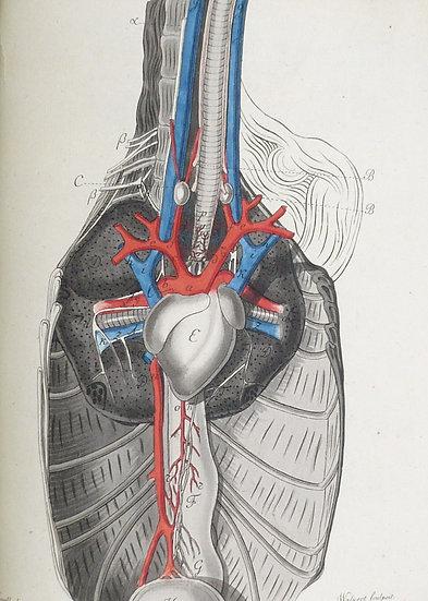 Lehmann Fuld. De Organis, quibus aves spiritum ducunt. Dissertatio inauguralis zootomica-medica. Würzburg, 1816.