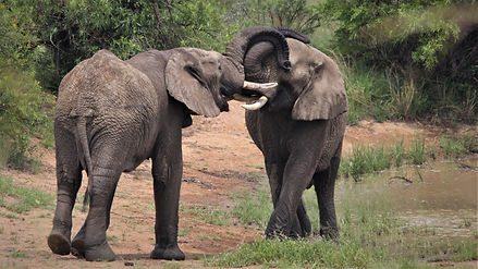 Teenage African Elephants greeting each other.