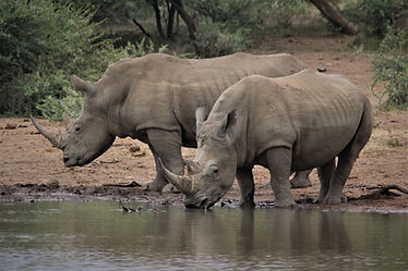Now an endangered species, the White Rhino enjoys a refreshing drink from a nearby river.