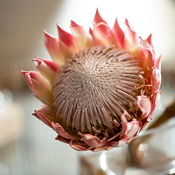 The beautiful Protea, a national flower of Southern Africa.
