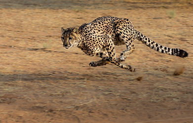 The fastest land animal, the beautiful Cheetah.