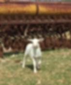 SHEEP18.PNG