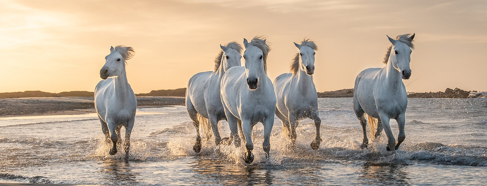 White horses are galoping in the water