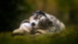 Dogs_Australian_Shepherd_Glance_554291_1