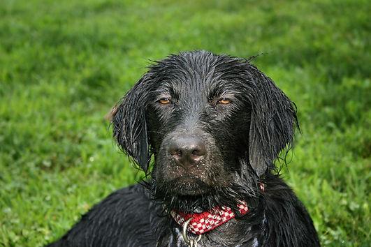 wet-dog-4200618_1920.jpg