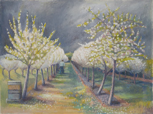 Andrew Hecks in the Glastonbury orchard, blossom time