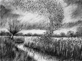 Starling murmuration, Westhay II