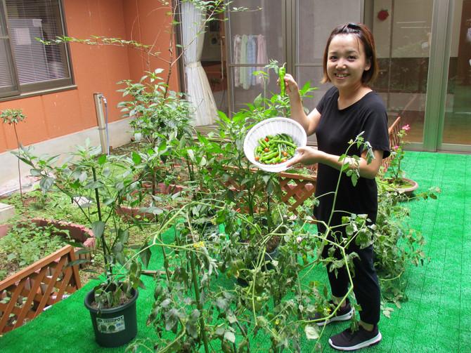 家庭菜園の収穫