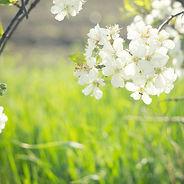 bigstock-flowering-spring-tree-close-up-
