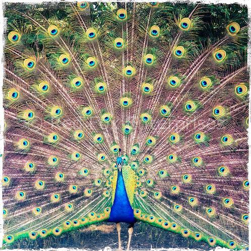 The Staller - Framed Photograph of Peacock