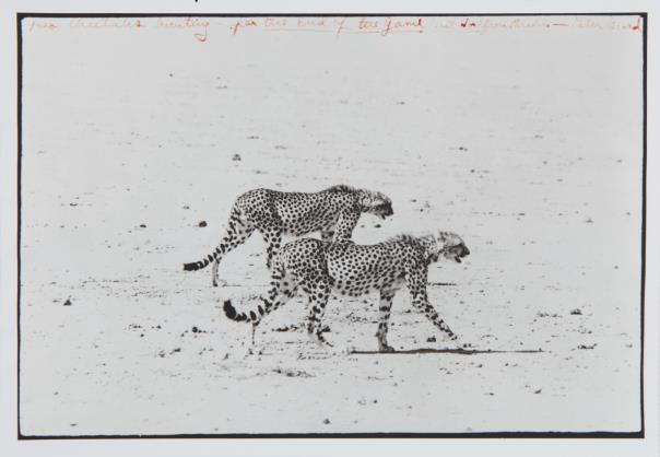 Peter Beard | Cheetahs