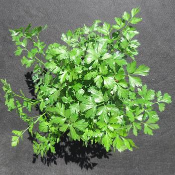 Italian parsley Swap a Bag